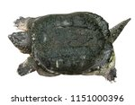 snapping turtle   chelydra... | Shutterstock . vector #1151000396
