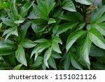 paeonia  etienne mechin