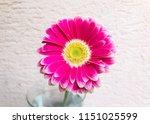 close up pink gerbera flowers... | Shutterstock . vector #1151025599