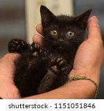 Stock photo little black kitten in hands 1151051846