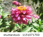 beautiful colorful flowers   Shutterstock . vector #1151071703