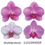 orchids isolated on white... | Shutterstock . vector #1151094509