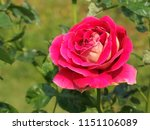 beautiful colorful rose in... | Shutterstock . vector #1151106089