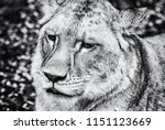 portrait of a barbary lion  ... | Shutterstock . vector #1151123669