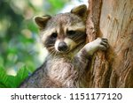 Small photo of The North Raccoon (Procyon lotor), a popular raccoon on the tree.