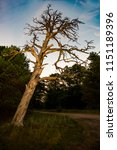 silhouettes of dry tree against ... | Shutterstock . vector #1151189396