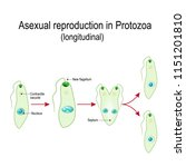 fission or asexual reproduction ... | Shutterstock .eps vector #1151201810