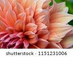 beautiful cream colored closeup ... | Shutterstock . vector #1151231006
