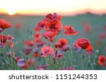 beautiful red poppies flowers... | Shutterstock . vector #1151244353