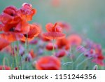 beautiful red poppies flowers... | Shutterstock . vector #1151244356