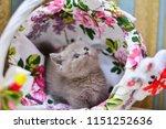 kitty cat munchkin fluffy ... | Shutterstock . vector #1151252636