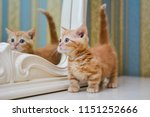 Stock photo kitty cat munchkin fluffy animal 1151252666