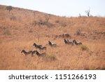 Sunlight On A Group Of Zebra ...