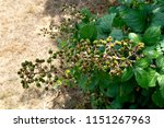 A Branch Of Unripe  Green  Wil...