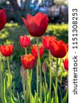 red tulips with back light ... | Shutterstock . vector #1151308253