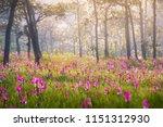 Siam Tulip Field Thung Bua...