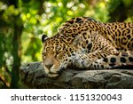 Beautiful Jaguar Resting On A...