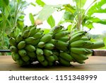 cultivated banana and banana... | Shutterstock . vector #1151348999