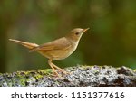 nightingale in search for some... | Shutterstock . vector #1151377616