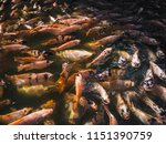tilapia red or ruby fish in the ... | Shutterstock . vector #1151390759