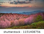 Wild Himalayan Cherry Blossom ...