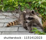 an adorable baby raccoon on top ... | Shutterstock . vector #1151412023