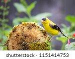 male goldfinch  spinus tristis  ... | Shutterstock . vector #1151414753