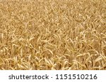 a close up of a wheatfield | Shutterstock . vector #1151510216