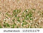 wheat field with field bindweed   Shutterstock . vector #1151511179