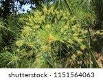 """papyrus sedge"" plant  or paper ... | Shutterstock . vector #1151564063"
