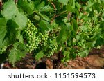 a close up of green wine grapes ... | Shutterstock . vector #1151594573