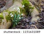 snowdrop flowers growing next...   Shutterstock . vector #1151631089