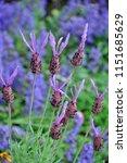 pretty purple lavender flowers | Shutterstock . vector #1151685629