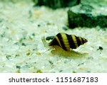 """Small photo of A cute assassin snail in freshwater aquarium. Clea helena is an aquatic gastropod mollusk in the family Buccinidae. It is often known as the """"assassin snail"""" for its habit of eating other snails."""