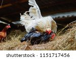 A Rooster And A Chicken Mating...