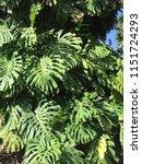 monstera foliage background.... | Shutterstock . vector #1151724293