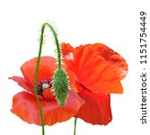 beautiful red poppy. bloom of...   Shutterstock .eps vector #1151754449