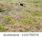 white and black cat on the... | Shutterstock . vector #1151759276