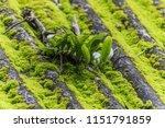 parasite is a parasitic plant... | Shutterstock . vector #1151791859
