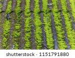 parasite is a parasitic plant... | Shutterstock . vector #1151791880