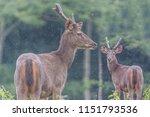 deer are wild animals in the... | Shutterstock . vector #1151793536