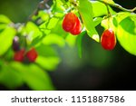 uncultivated  dogwood growing... | Shutterstock . vector #1151887586