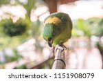 beautiful green parrot with... | Shutterstock . vector #1151908079