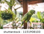 beautiful green parrot with... | Shutterstock . vector #1151908103