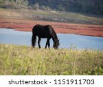 black horse on the pasture   Shutterstock . vector #1151911703