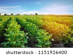 potato plantations grow in the... | Shutterstock . vector #1151926400
