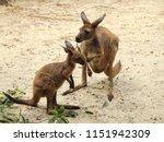 Mother Kangaroo Feeding To Bab...