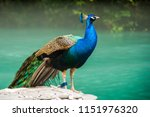 peacock sits on a leash  and... | Shutterstock . vector #1151976320