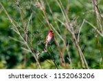 common rosefinch male sitting... | Shutterstock . vector #1152063206