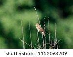 river warbler locustella... | Shutterstock . vector #1152063209